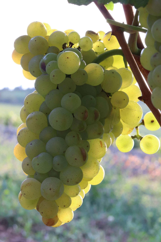 le chardonnay en Bourgogne