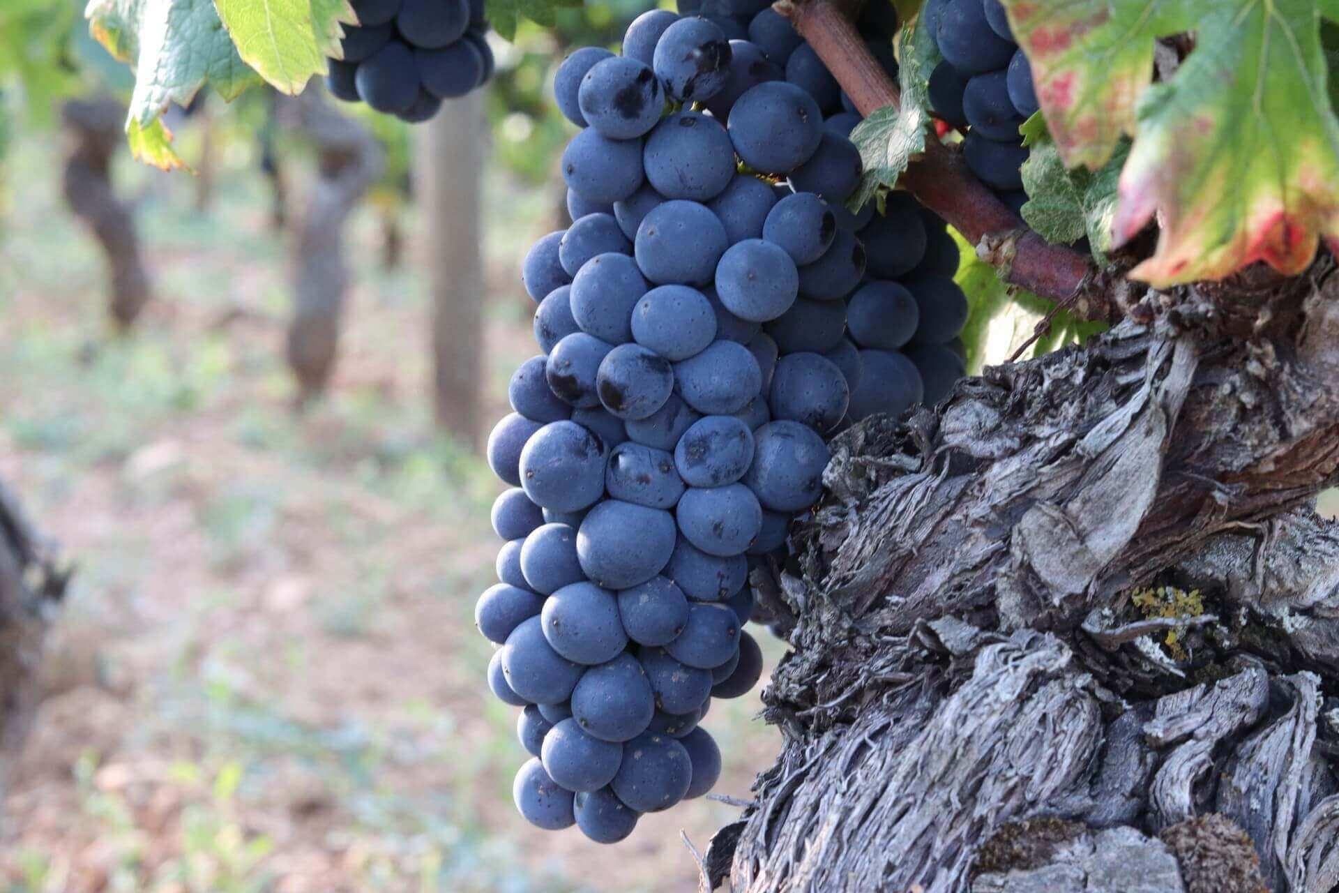 Le pinot noir en Bourgogne