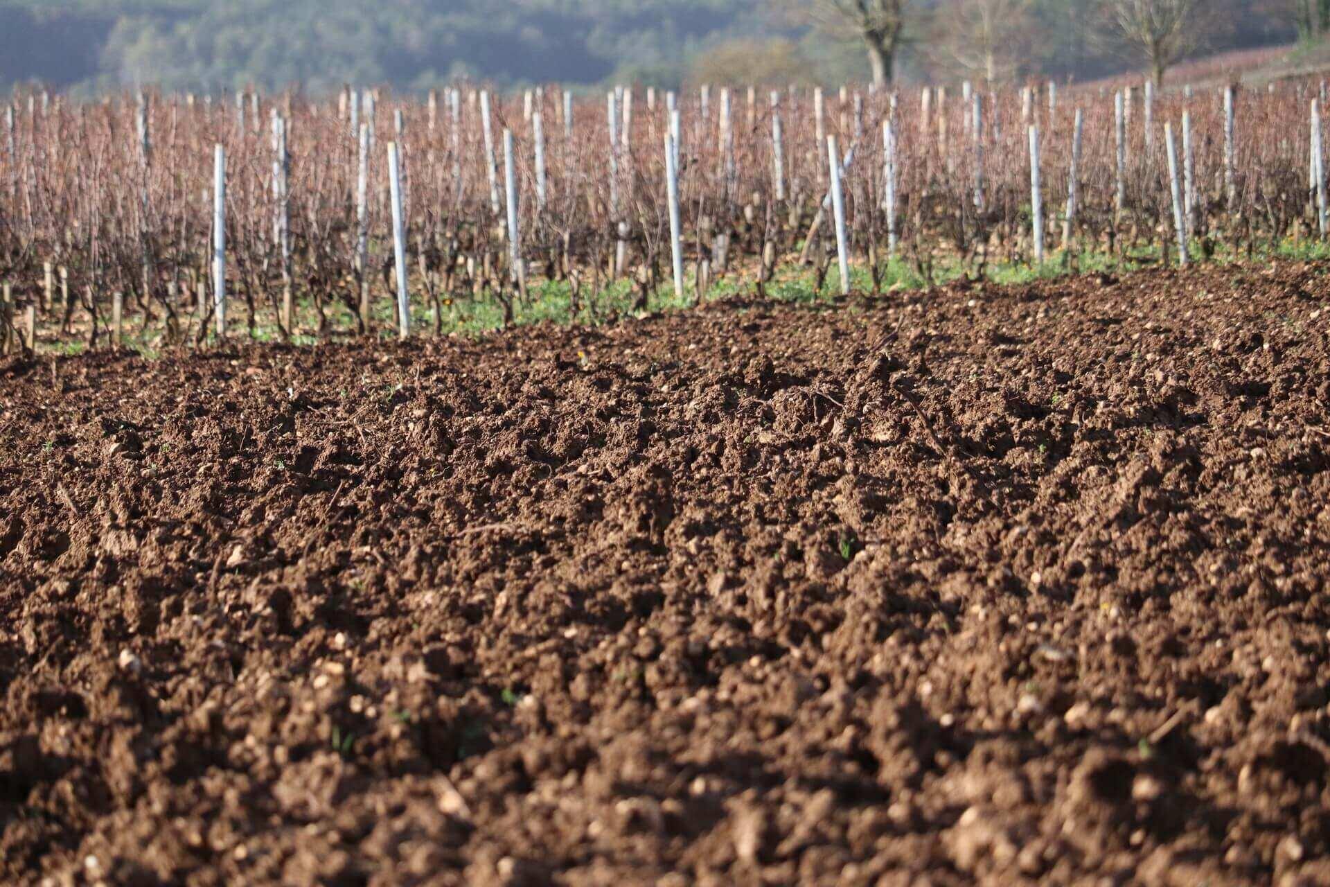 Arrachage de la vigne en hiver