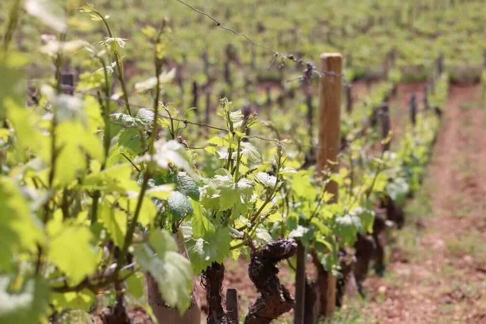2020: les vignes en Bourgogne privilégiées